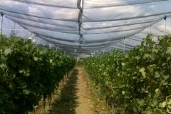 Лозе в гр.Стара Загора - с мрежа против градушка и насекоми (1)