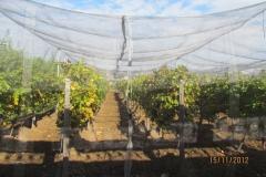 Лозе в гр.Стара Загора - с мрежа против градушка и насекоми (2)