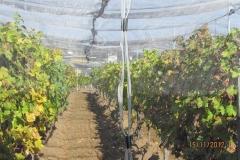 Лозе в гр.Стара Загора - с мрежа против градушка и насекоми (3)