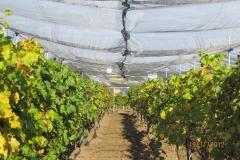 Лозе в гр.Стара Загора - с мрежа против градушка и насекоми (4)
