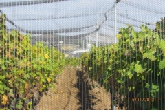 Лозе в гр.Стара Загора - с мрежа против градушка и насекоми