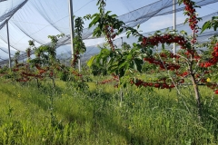 Черешова градина 120 дка – с.Хърсово (1)