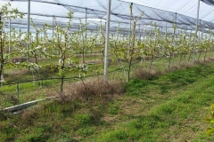 Черешова градина 120 дка – с.Хърсово (3)