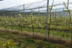 Черешова градина 120 дка – с.Хърсово (5)