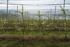 Черешова градина 120 дка – с.Хърсово (6)