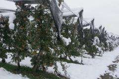 """Ябълкова градина 17 дка в гр.Берковица Покрита с мрежа против градушка, тип """"Capanina"""" (2)"""