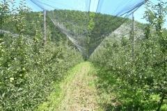 """Ябълкова градина 17 дка в гр.Берковица Покрита с мрежа против градушка, тип """"Capanina"""" (3)"""