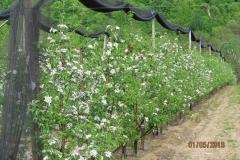 """Ябълкова градина 17 дка в гр.Берковица Покрита с мрежа против градушка, тип """"Capanina"""" (4)"""