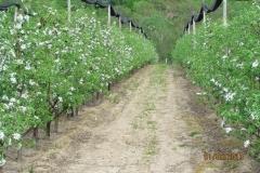 """Ябълкова градина 17 дка в гр.Берковица Покрита с мрежа против градушка, тип """"Capanina"""""""