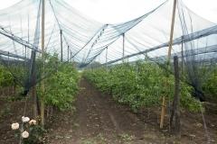Ябълковата градина на Тихомир Карпов (5)