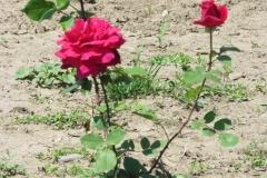 Ябълковата градина на Тихомир Карпов (7)